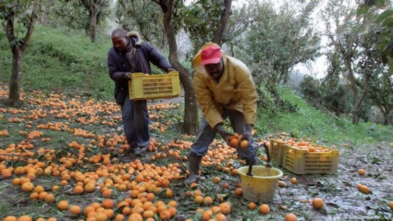 Workers picking fruit in Italy. Credit: Picture-alliance/DPA