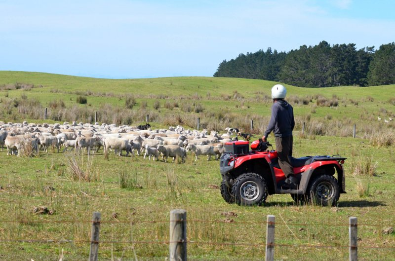 Shepherd in Karikari, New Zealand. Credit: Rafael Ben-Ari/Fotolia