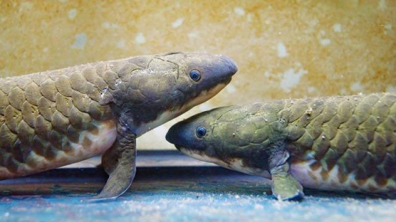 Lungfish. Credit: IMP/Schedl