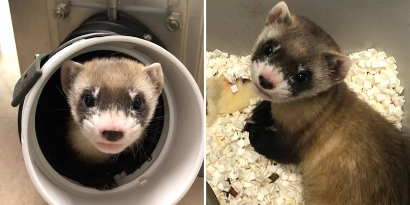 Credit: USFWS National Black-footed Ferret Conservation Center