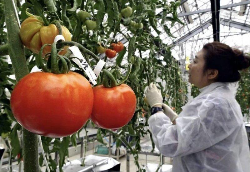 A University of Tsukuba researcher harvests genome-edited tomatoes in Tsukuba, Ibaraki Prefecture. Credit: Yomiuri Shimbun