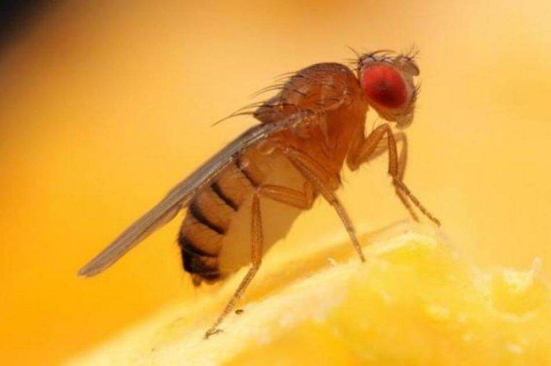 fruit flies refuse to lay their eggs in lion poop