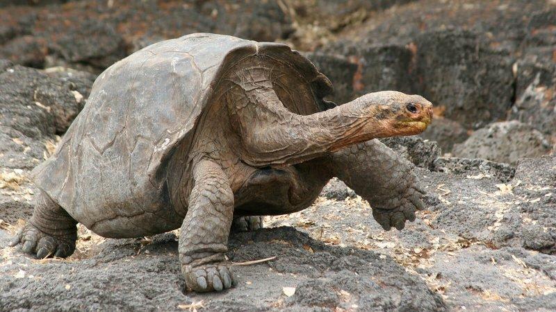 galapagos tortoise large ngsversion