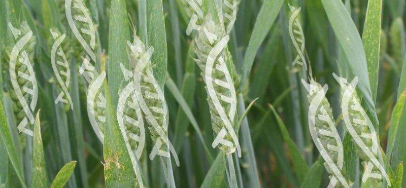 gene edited wheat web x