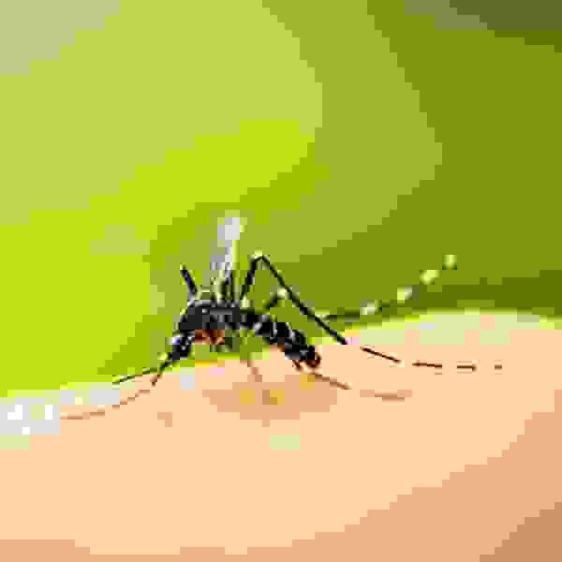 gene modifying mosquito s