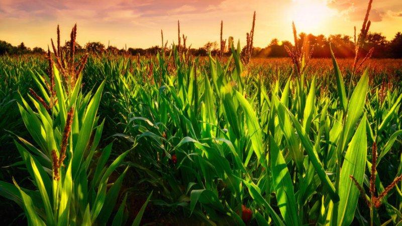 gmo corn field x