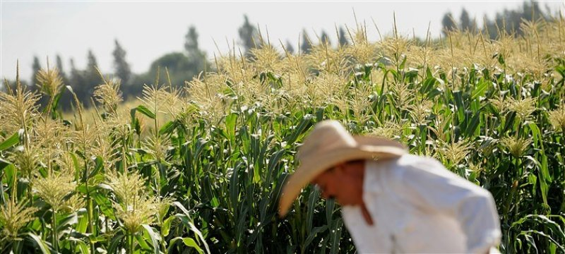 COVID halts global GM crop approvals, hitting poor farmers in developing countries hardest