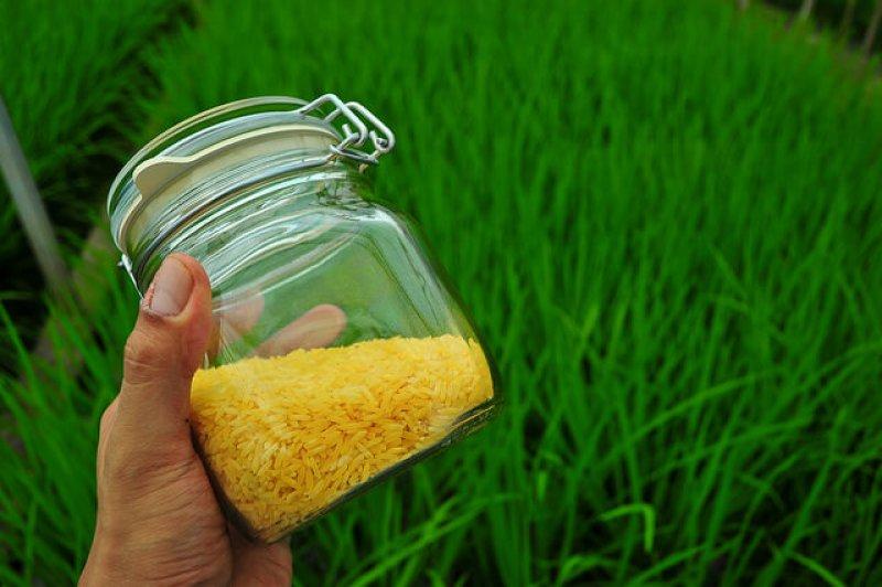 golden rice by IRRI