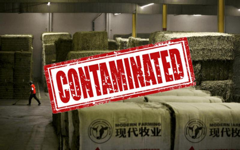 hay china alfalfa gmo contaminated