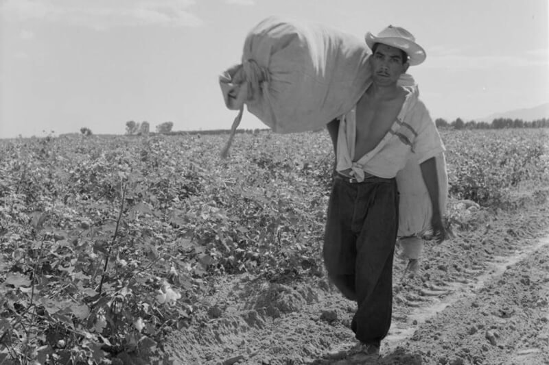 A man harvesting cotton in Torreón, Mexico. Credit: Eugene V. Harris/Clarence W. Sorensen Collection/American Geographical Society Library