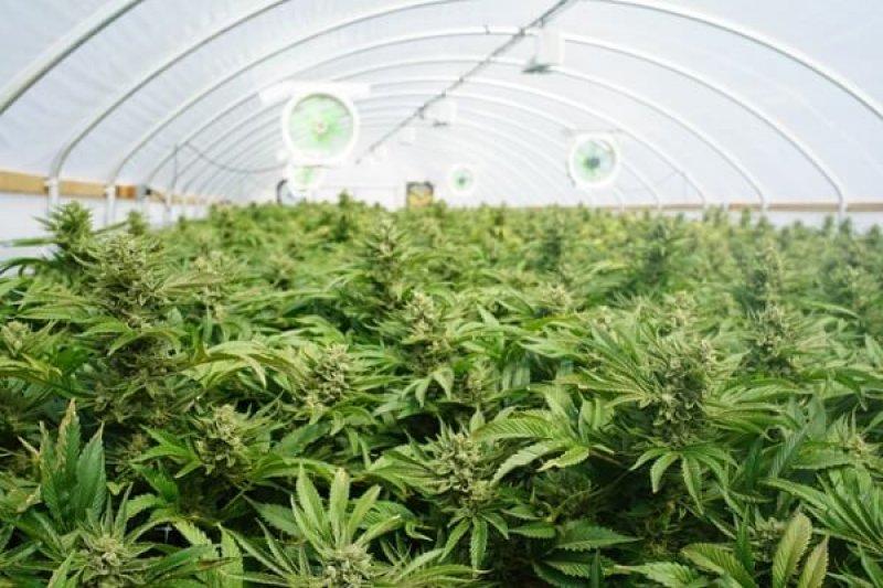 istock cannabis