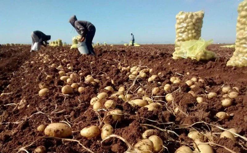 mexico potato harvest sinaloa
