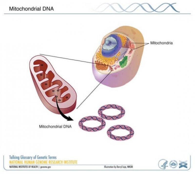 mitochondrial dna NHGRI