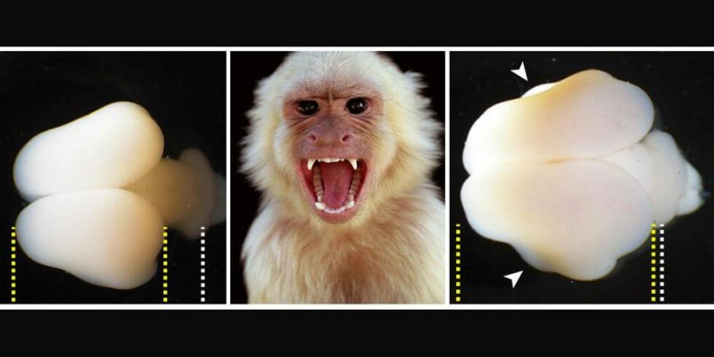 A comparison of two marmoset monkey brains at the same stage of development. The left brain is that of a normal monkey, while the right has the expression of the human gene ARHGAP11B. Credit: Heide et al./MPI-CBG/Getty Images