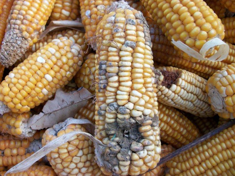 mycotoxin corn