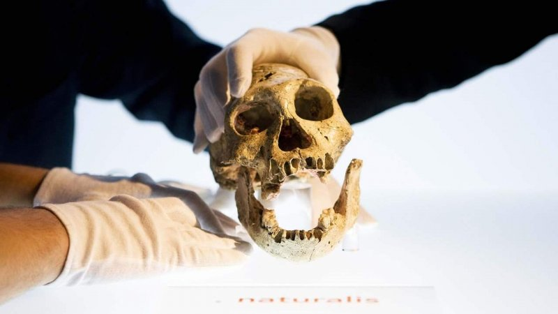 One of the Dmanisi skulls studied on exhibit in Leiden in 2009. Credit: Valerie Kuypers/AFP