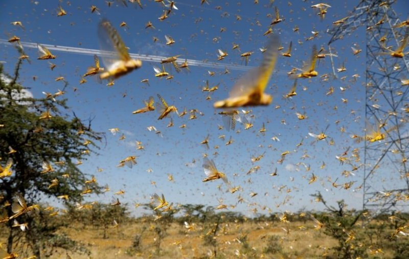 new larger wave of locusts threatens millions in africa