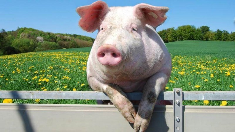 pig fence adapt