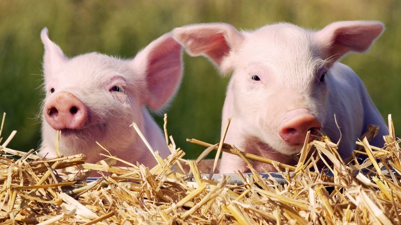 piglets today tease a c b ccf c b f