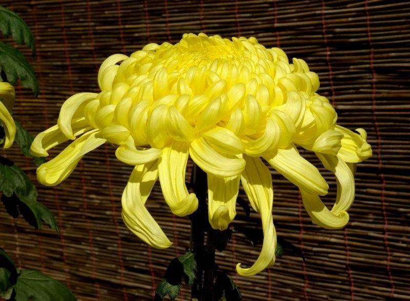 px chrysanthemum november osaka japan