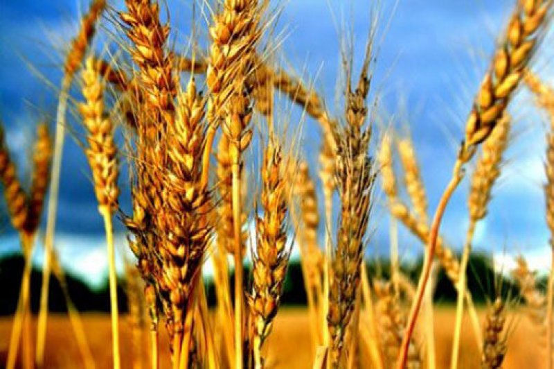 red wheat mfn