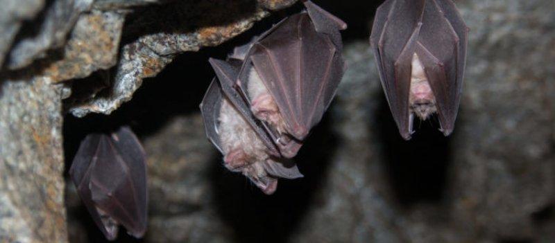 rhonolophus ferrumequinum x
