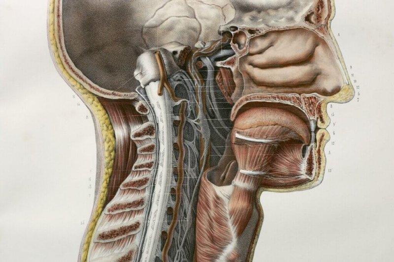 sci glands jumbo