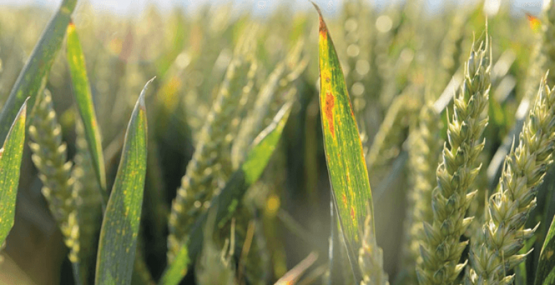 screenshot mild autumn increases virus threat to cereal crops farmers weekly