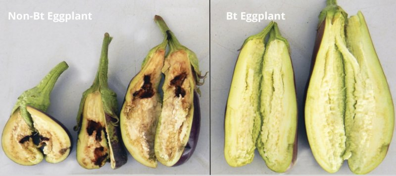 GM insect-resistant Bt eggplant could help Philippines ...