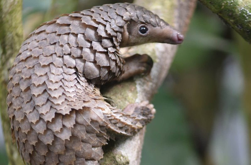 sl white bellied pangolin male juvenile c sangha pangolin project wide