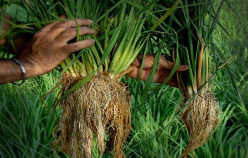 sri rice vs conventional rice