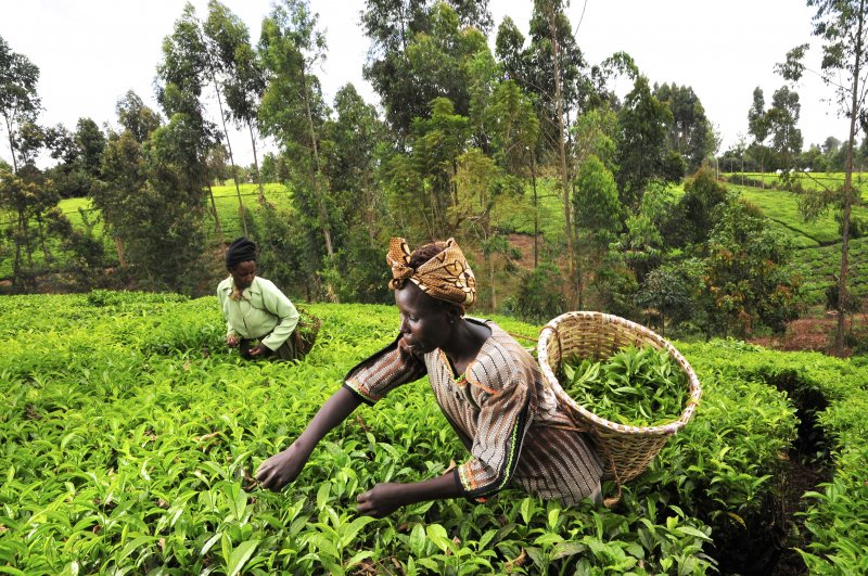 tea kenya farm creditciat flickr