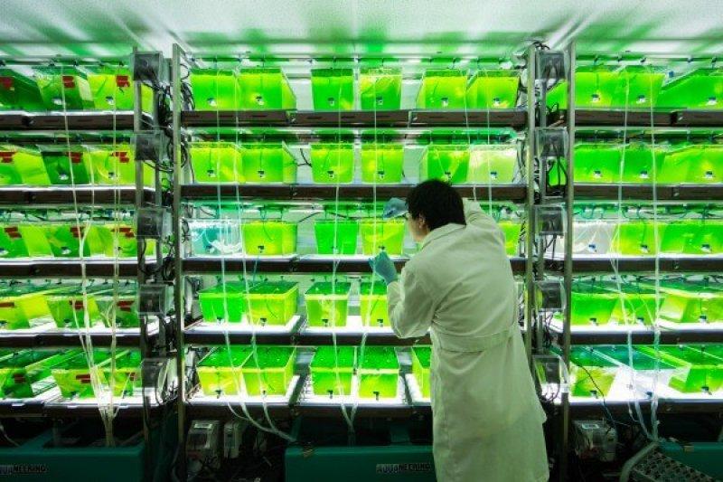 Biofuel from algae research. Credit: University of Michigan