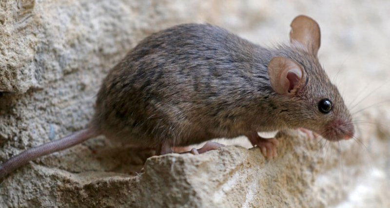 1-30-2019 ti mouse gene drive feat