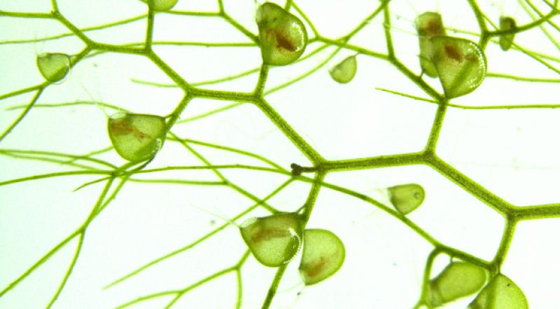 utricularia inflata john innes centre x