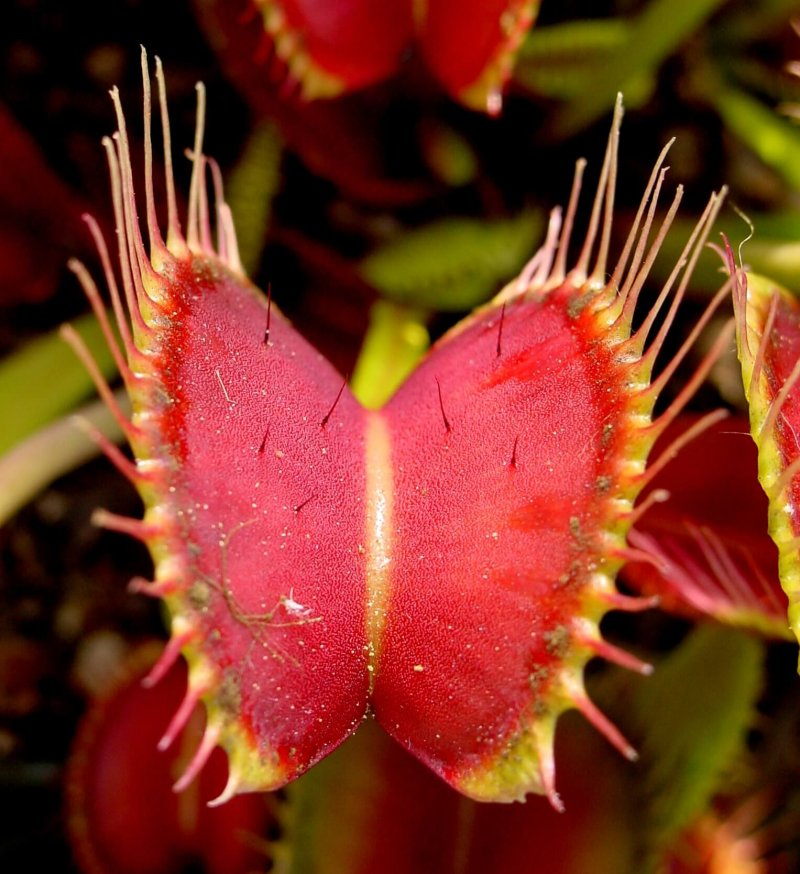venus flytrap showing trigger hairs