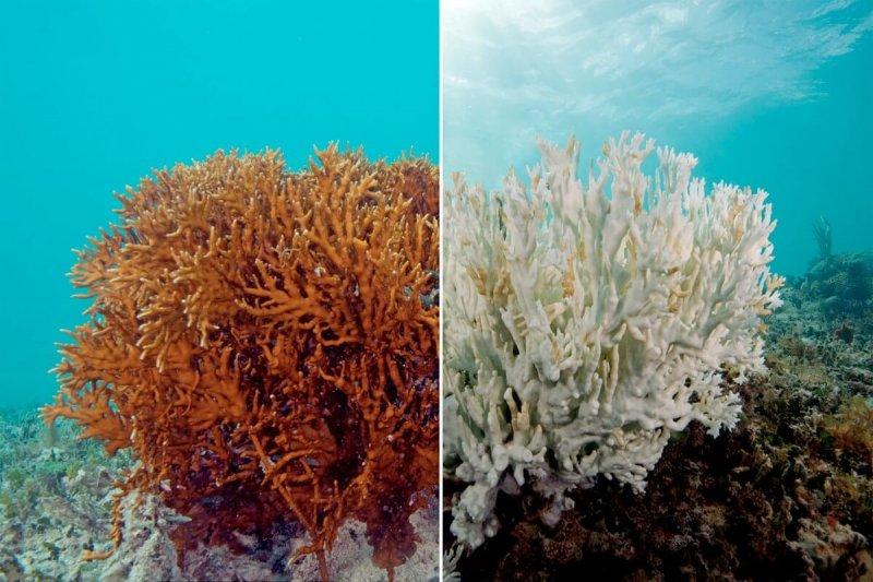 Staghorn coral. Credit: Rosa Li