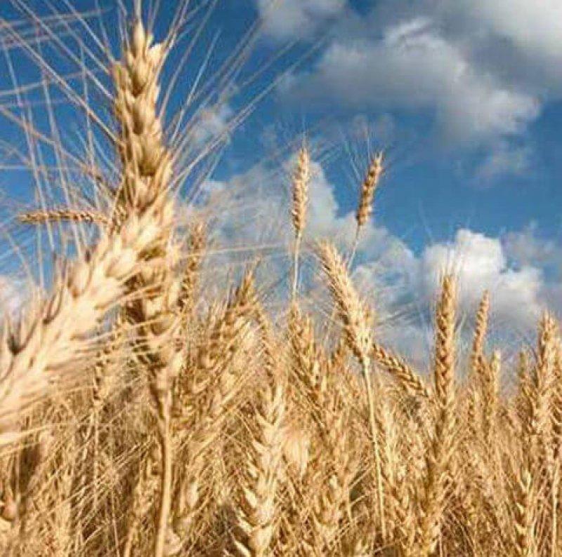 wheat e